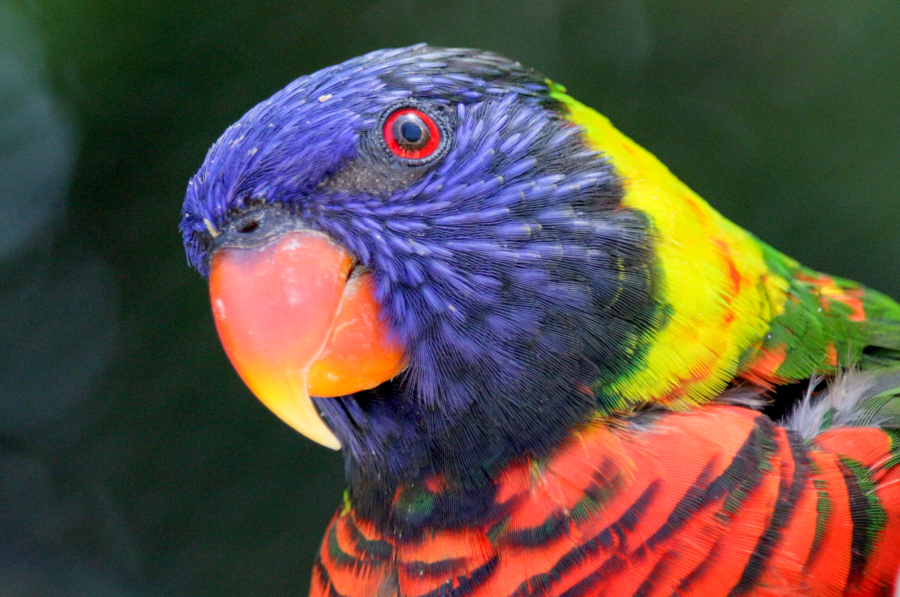 Lorikeet looking closely at camera