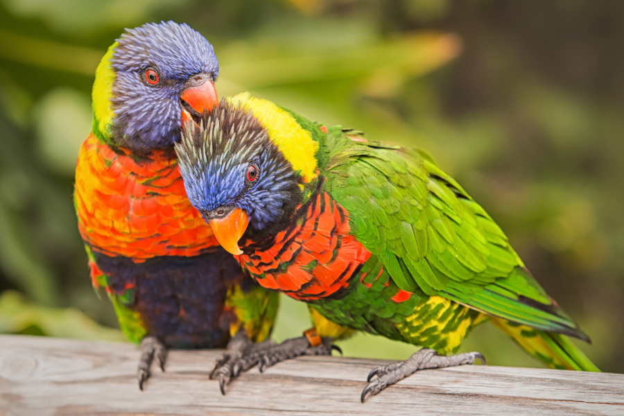 Pair of lorikeets