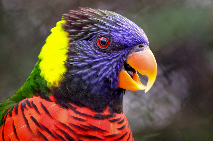 Lorikeet profile with open beak