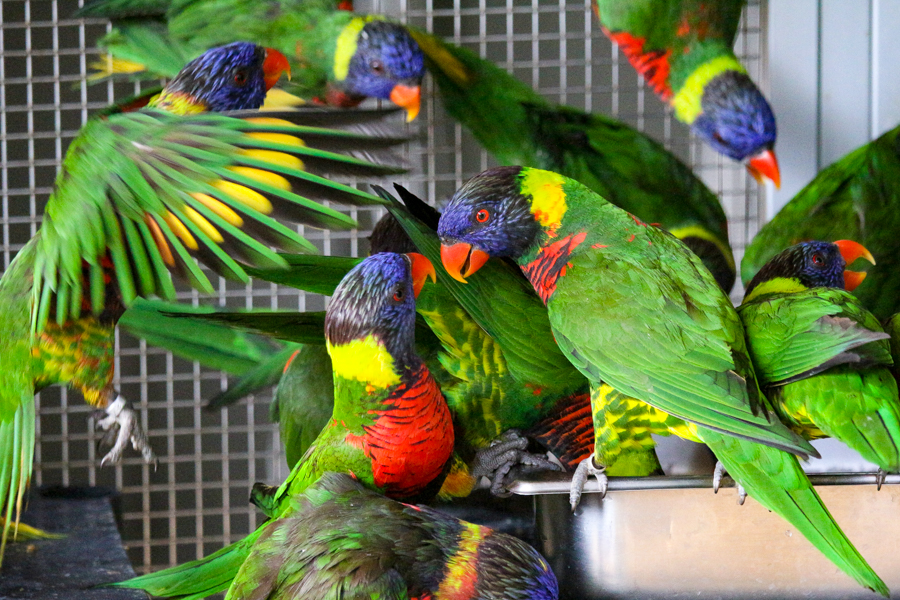 Lorikeets gathering together in their enclosure