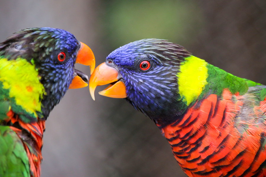 Lorikeets touching their beaks together