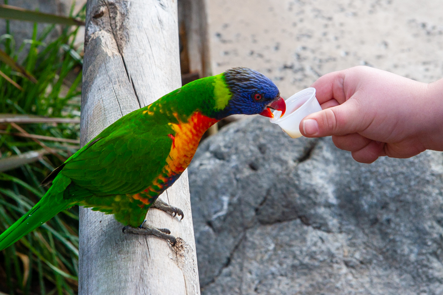 Lorikeet being fed nectar