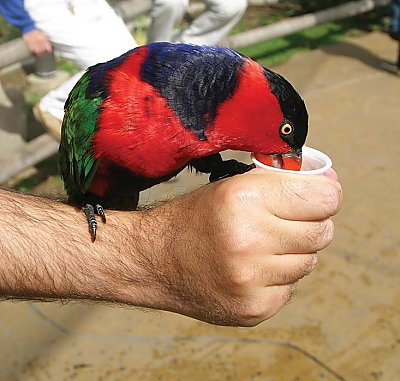 Lorikeet on a hand drinking nectar from a cup - thumbnail