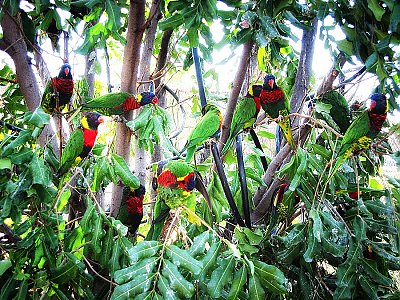 Lorikeets in a tree - thumbnail