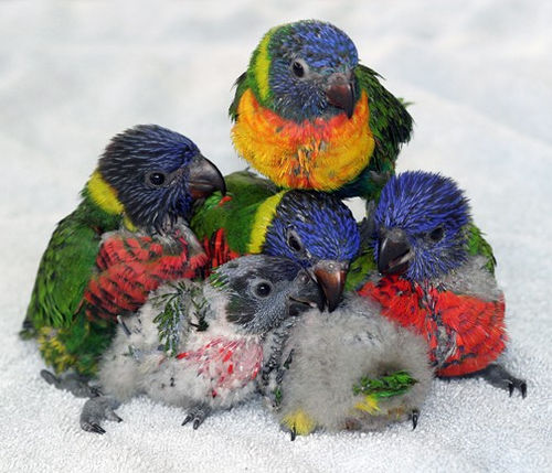 group of lorikeet chicks